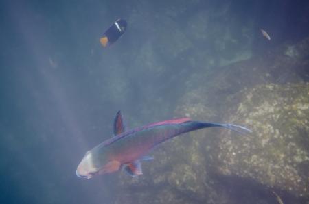 levit: Parrotfish swimming underwater, Darwin Bay, Genovesa Island, Galapagos Islands, Ecuador
