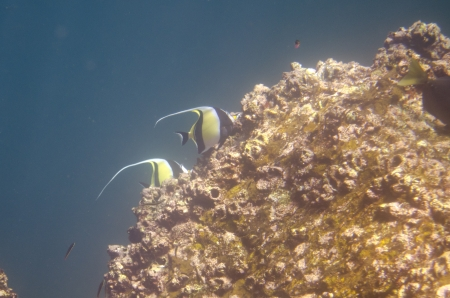 levit: Angelfish swimming underwater, Darwin Bay, Genovesa Island, Galapagos Islands, Ecuador