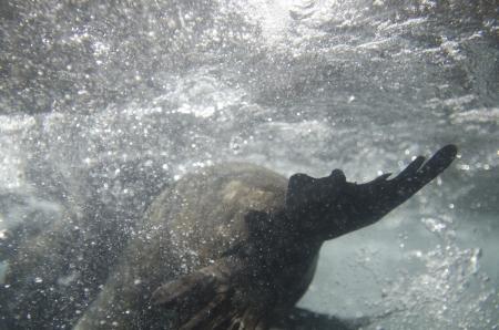 levit: Two Galapagos sea lion  Zalophus californianus wollebacki  swimming underwater, Darwin Bay, Genovesa Island, Galapagos Islands, Ecuador