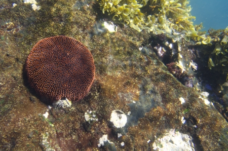 tagus: Coral underwater, Tagus Cove, Isabela Island, Galapagos Islands, Ecuador