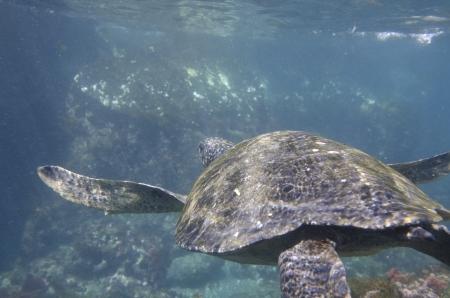 levit: Sea turtle swimming underwater, Tagus Cove, Isabela Island, Galapagos Islands, Ecuador