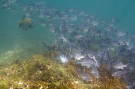 levit: School of fish swimming underwater, Tagus Cove, Isabela Island, Galapagos Islands, Ecuador Stock Photo