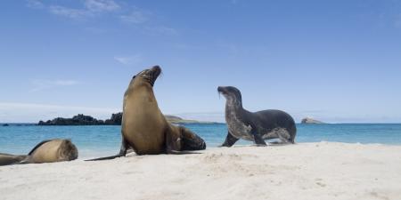 Galapagos sea lions (Zalophus californianus wollebacki) on the beach, Gardner Bay, Espanola Island, Galapagos Islands, Ecuador 写真素材