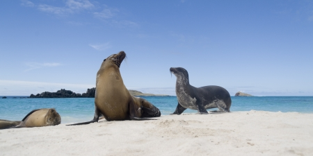 Galapagos sea lions (Zalophus californianus wollebacki) on the beach, Gardner Bay, Espanola Island, Galapagos Islands, Ecuador photo