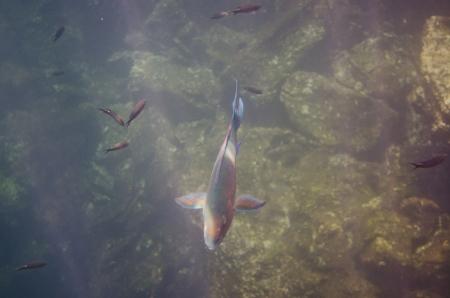 levit: School of Parrotfish swimming underwater, Darwin Bay, Genovesa Island, Galapagos Islands, Ecuador Stock Photo