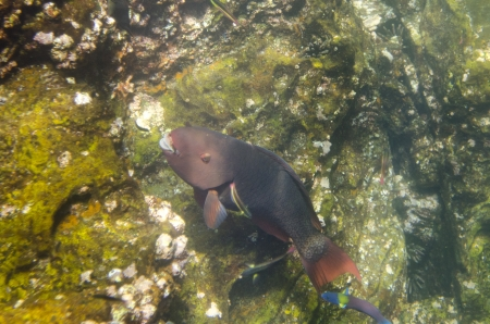 darwin: Parrotfish swimming underwater, Darwin Bay, Genovesa Island, Galapagos Islands, Ecuador