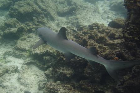 levit: Whitetip Reef shark  Triaenodon Obesus  swimming underwater, Puerto Egas, Santiago Island, Galapagos Islands, Ecuador Stock Photo