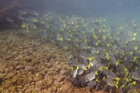 surgeon fish: Escuela de peces cirujano Zebrasoma flavescens nataci?n subacu?tica, Puerto Egas, Isla Santiago, Islas Gal?pagos, Ecuador