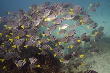 levit: School of Surgeon fish  Zebrasoma flavescens  swimming underwater, Puerto Egas, Santiago Island, Galapagos Islands, Ecuador