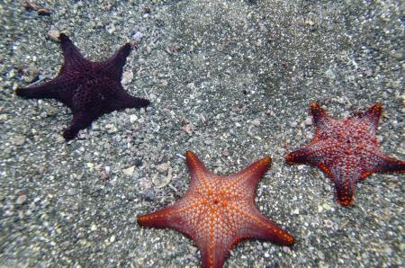 bartolome: Three starfish underwater, Bartolome Island, Galapagos Islands, Ecuador Stock Photo