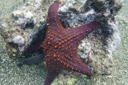 bartolome: Starfish with a small fish underwater, Bartolome Island, Galapagos Islands, Ecuador
