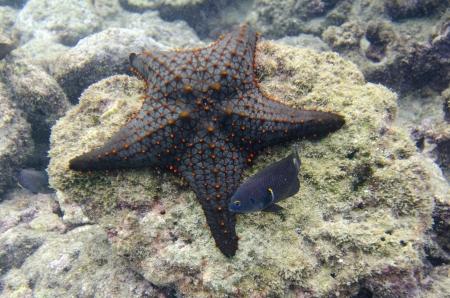 levit: Starfish on the rock underwater Bartolome Island, Galapagos Islands, Ecuador Stock Photo