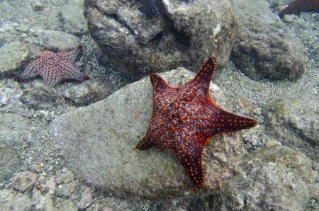 bartolome: Starfish on the rock underwater Bartolome Island, Galapagos Islands, Ecuador Stock Photo