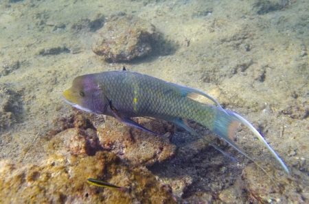 Two fish swimming underwater, Bartolome Island, Galapagos Islands, Ecuador Banco de Imagens