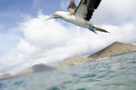 levit: Blue-Footed booby  Sula nebouxii  flying over the Pacific Ocean, Bartolome Island, Galapagos Islands, Ecuador