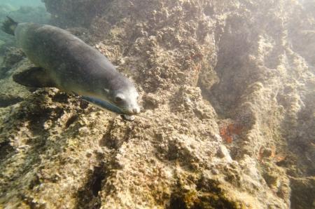 levit: Galapagos sea lion  Zalophus californianus wollebacki  caught a fish in its mouth, Bartolome Island, Galapagos Islands, Ecuador