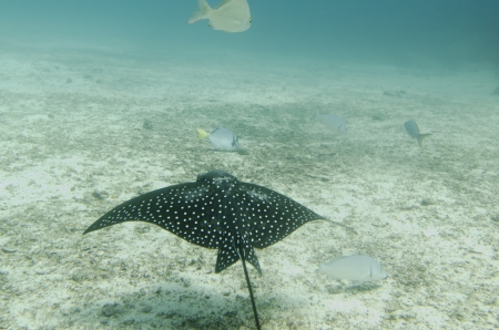 spotted: Spotted Eagle Ray  Aetobatus narinari  fish swimming underwater, Santa Cruz Island, Galapagos Islands, Ecuador