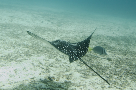 Spotted Eagle Ray  Aetobatus narinari  fish swimming underwater, Santa Cruz Island, Galapagos Islands, Ecuador