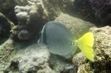 zebrasoma: Surgeon fish  Zebrasoma flavescens  swimming underwater, Santa Cruz Island, Galapagos Islands, Ecuador Stock Photo