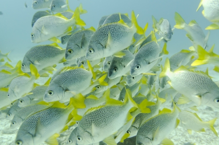 grunt: School of Yellow Tailed Grunt  Anisotremus Interruptus  fish swimming underwater, Santa Cruz Island, Galapagos Islands, Ecuador Stock Photo