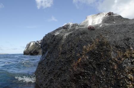 levit: Crabs on a rock, Gardner Bay, Espanola Island, Galapagos Islands, Ecuador
