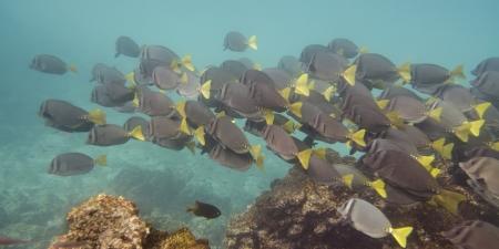 surgeon fish: Escuela de peces cirujano Zebrasoma flavescens nataci�n subacu�tica, Puerto Egas, Isla Santiago, Islas Gal�pagos, Ecuador