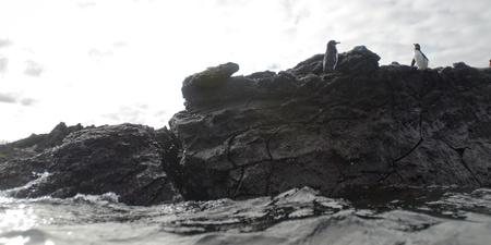 Two penguins on a rock, Puerto Egas, Santiago Island, Galapagos Islands, Ecuador