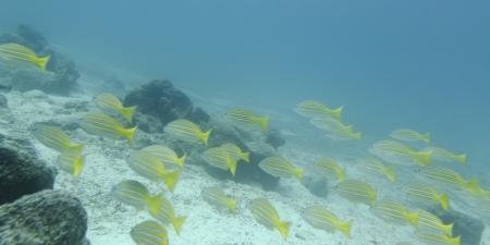 levit: School of fish swimming underwater, Santa Cruz Island, Galapagos Islands, Ecuador