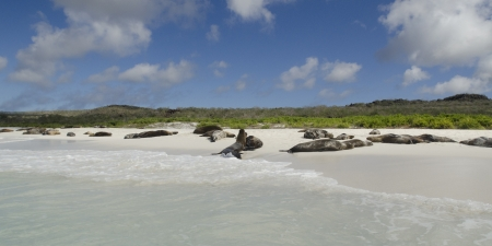 levit: Galapagos sea lions  Zalophus californianus wollebacki  resting on the beach, Gardner Bay, Espanola Island, Galapagos Islands, Ecuador