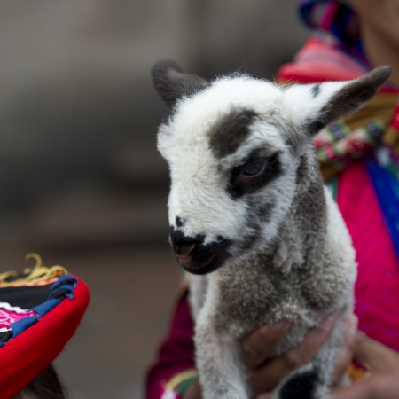 cuzco: Close-up of a kid goat held by a person, Cuzco, Peru
