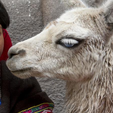 cusco province: Close-up of llama (Lama glama), Cuzco, Peru