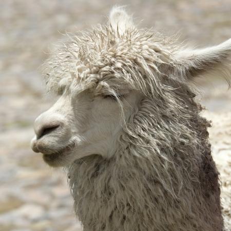 cusco province: Close-up of llama (Lama glama), Sacred Valley, Machu Picchu, Cuzco, Peru Stock Photo
