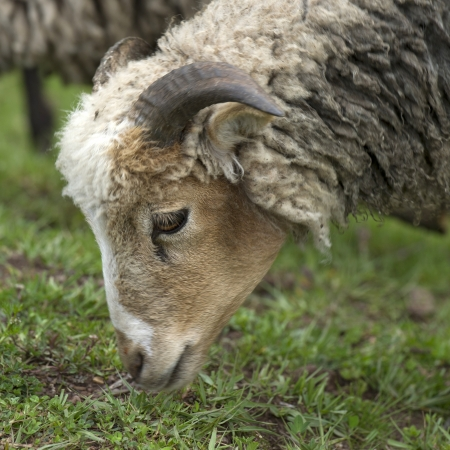 sacred valley of the incas: Sheep grazing in a field, Sacred Valley, Cusco Region, Peru