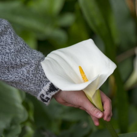 willka tika guesthouse: Persons hand picking up a Cala lily in a garden of Willka Tika Guesthouse, Willka Tika, Sacred Valley, Cusco Region, Peru Stock Photo