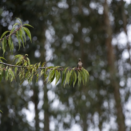 birdlife: Bird perching on a twig, Willka Tika Guesthouse, Willka Tika, Sacred Valley, Cusco Region, Peru Stock Photo