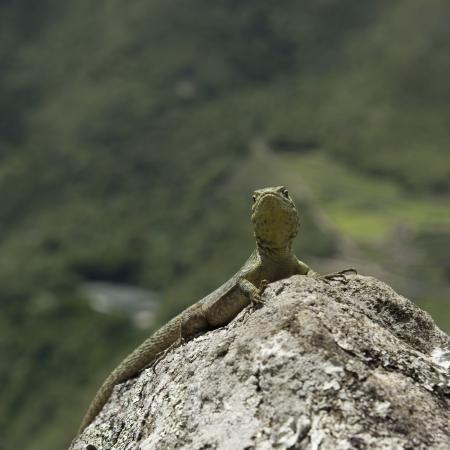 cusco province: Close-up of a lizard on a rock, Machu Picchu, Cusco Region, Peru