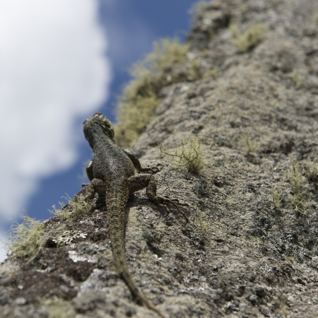 cusco region: Close-up of a lizard on a rock, Machu Picchu, Cusco Region, Peru
