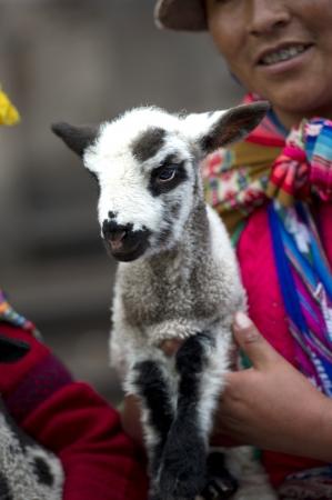 qusqu: Quechua woman carrying a kid goat, Cuzco, Peru Stock Photo