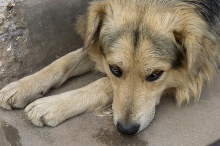 cusco region: Primer plano de un perro, Valle Sagrado, Cusco, Per�
