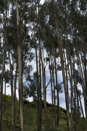 tranquilly: Low angle view of trees in Sacred Valley, Cusco Region, Peru Stock Photo