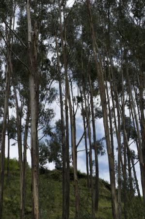 cusco region: Vista de �ngulo bajo de los �rboles en el Valle Sagrado, Cusco, Per�