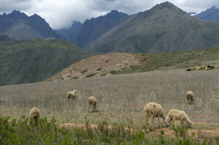 placidness: Herd of sheep grazing in the field, Sacred Valley, Cusco Region, Peru Stock Photo