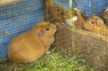 Hamsters in a cage, Chumpepoke Primary School, Sacred Valley, Cusco Region, Peru photo