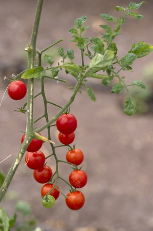 willka tika: Plant of cherry tomatoes in a garden, Willka Tika, Sacred Valley, Cusco Region, Peru