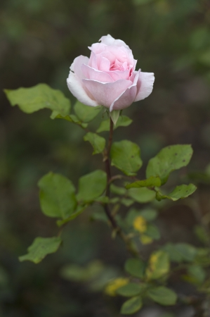 willka tika guesthouse: Close-up of a pink rose in a garden, Willka Tika, Sacred Valley, Cusco Region, Peru