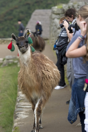 Close-up of a Llama (Lama glama) at The Lost City of The Incas, Machu Picchu, Cusco Region, Peru