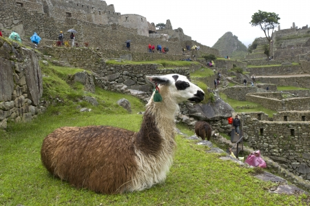 Llama (Lama glama) sitting at The Lost City of The Incas, Machu Picchu, Cusco Region, Peru