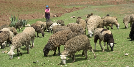 Herd of sheep grazing in the field, Sacred Valley, Cusco Region, Peru 新聞圖片