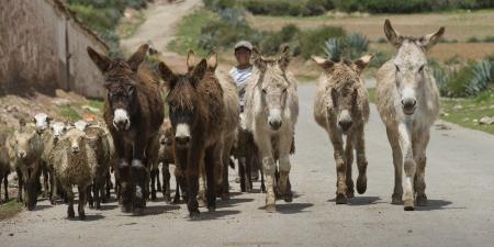 in herding: Man herding sheep and donkeys, Sacred Valley, Cusco Region, Peru