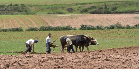 plough land: Farmers ploughing a field with cattle, Sacred Valley, Cusco Region, Peru Editorial